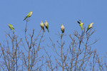 Monk Parakeet flock in late December.
