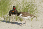 American Oystercatchers adult with young.