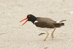 American Oystercatcher displays an aggressive posture.