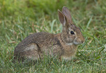Eastern Cottontail in mid-July.