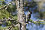 Juvenile male Black-backed Woodpecker in mid-July.