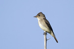 Olive-sided Flycatcher in mid-July.