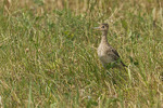 Adult Upland Sandpiper in a mowed field in mid-July.