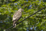 Adult Broad-winged Hawk perched on a phone line in mid-July.
