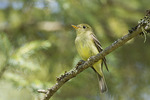 Yellow-bellied Flycatcher in mid-July. 