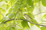 Warbling Vireo in White Ash in early August.