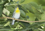 Female Northern Parula in mid-August on fall migration.