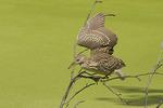 Immature Black-crowned Night-Heron in mid-August.