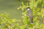 Eastern Kingbird in mid-August.