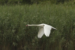 Mute Swan in flight in early August.
