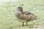 Female Gadwall in eclipse plumage.