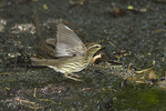 Northern Waterthrush on fall migration in late August.