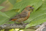 Male Red Crossbill (type 3) in Sweetgum (Liquidambar styraciflua) in early September.