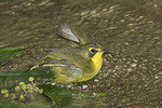 Female Kentucky Warbler bathing in late August on fall migration.