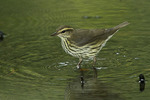 Northern Waterthrush on fall migration in early September.