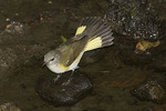 Female American Redstart in early September on fall migration.