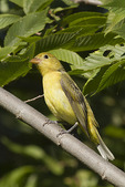 First-fall female Scarlet Tanager in mid-September on fall migration.