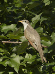 Immature Yellow-billed Cuckoo in mid-September on fall migration.