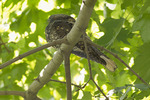 Roosting Eastern Whip-poor-will in mid-September on fall migration.