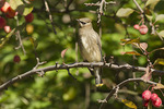 Immature Cedar Waxwing in crab apple in mid-September.