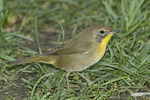 First fall male Common Yellowthroat foraging on a lawn on fall migration in mid-September.