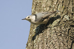 Female White-breasted Nuthatch in mid-September.