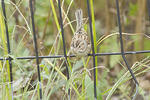 Clay-colored Sparrow in late September on fall migration.