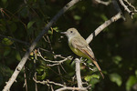 Great Crested Flycatcher in late September on fall migration.