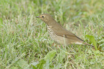 Adult Swainson's Thrush foraging on a lawn in late September on fall migration.