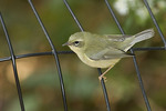First fall female Black-throated Blue Warbler in late September on fall migration.