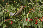 Immature Cedar Waxwing in early October.