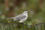 Northern Mockingbird in late September.