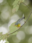 Adult male Northern Parula in early October on fall migration. Azalea Pond, Central Park. New York, NY.