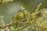 Nashville Warbler in goldenrod in mid-October on fall migration.