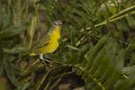 Nashville Warbler in mid-September on fall migration.