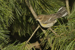 Adult female Yellow-rumped Warbler in basic plumage in mid-October on fall migration.