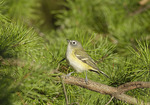 Blue-headed Vireo in mid-October on fall migration.