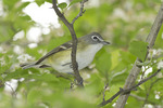 Blue-headed Vireo in Hawthorn in early May on spring migration.