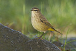 Palm Warbler in mid-October on fall migration.