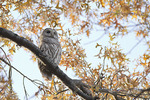 Barred Owl in mid-November.