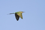 Blue-tailed Bee-eater in flight in late October on fall migration.