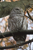 Barred Owl roosting in mid-November.