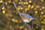First fall male Eastern Bluebird in crab apple in mid-November on fall migration.