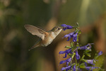 First fall female Rufous Hummingbird, a rare vagrant on the east coast, in mid-November.
