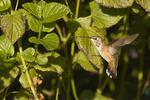 First fall female Rufous Hummingbird, a rare vagrant on the east coast in mid-November.