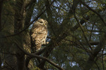 Barred Owl in juvenal plumage roosting in a pine in late November.