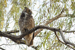 Great Horned Owl roosting in a willow in late November.