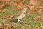 First fall Hermit Thrush foraging on a lawn in early December.