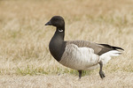 Brant in a grassy field in mid-February.