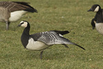 Barnacle Goose stretching a wing in late November.